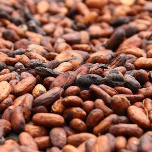Lack of rainfall in Cote d'Ivoire could affect cocoa mid-crop
